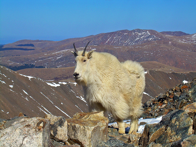 Mountain Goat!