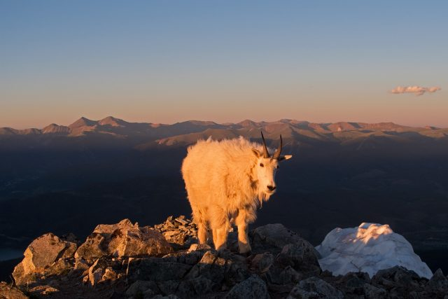 Peak 1 Mountain Goat